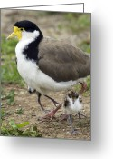 Lapwing Photo Greeting Cards - Masked Lapwing And Chick Greeting Card by Tony Camacho