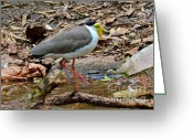 Lapwing Greeting Cards - Masked Lapwing Greeting Card by Double B Photography Carol Bradley