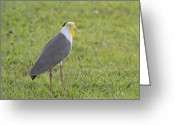 Lapwing Photo Greeting Cards - Masked Lapwing Greeting Card by Douglas Barnard