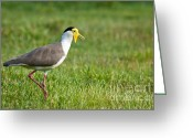 Lapwing Photo Greeting Cards - Masked lapwing Greeting Card by Johan Larson