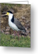 Lapwing Photo Greeting Cards - Masked Lapwing Greeting Card by Tony Camacho