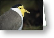Lapwing Photo Greeting Cards - Masked Plover Greeting Card by David Aubrey
