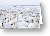 Large Group Of Animals Greeting Cards - Massive Amount Of Swans In Winter Greeting Card by Mait Juriado photo