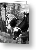 Cows Framed Prints Greeting Cards - Matilda and Zoey in the Warm Afternoon Sun Greeting Card by Danielle Summa
