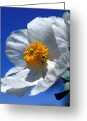 Featured Artwork Prints Greeting Cards - Matilija Poppy Greeting Card by Kathy Yates