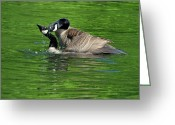 Geese Greeting Cards - Mating Canada Goose - c1567b Greeting Card by Paul Lyndon Phillips