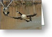 Goose Greeting Cards - Mating Season Drake Attack - c0364b Greeting Card by Paul Lyndon Phillips