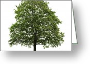 Green Leaves Greeting Cards - Mature maple tree Greeting Card by Elena Elisseeva