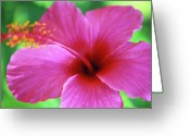Flowers Photographs Greeting Cards - Maui Pink Hibiscus Greeting Card by Kathy Yates