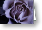 Nadja Drieling Greeting Cards - May Dreams Come True - Purple Pink Rose Closeup Flower Photograph Greeting Card by Artecco Fine Art Photography - Photograph by Nadja Drieling