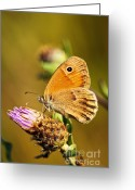 Orange Daisy Photo Greeting Cards - Meadow brown butterfly  Greeting Card by Elena Elisseeva