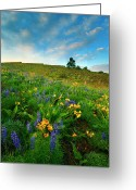 Balsamroot Greeting Cards - Meadow Gold Greeting Card by Mike  Dawson