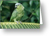 Amazon Parrot Greeting Cards - Mealy Parrot Amazona Farinosa Perching Greeting Card by Michael & Patricia Fogden