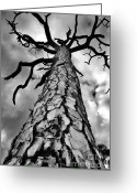 St. Lucie County Greeting Cards - Medusa Pine Greeting Card by Lynda Dawson-Youngclaus