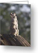 Standing Meerkat Photo Greeting Cards - Meercat Greeting Card by Mike Lester