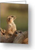 Standing Meerkat Photo Greeting Cards - Meerkat looking into the sun Greeting Card by RN Nobby Clarke