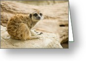 Standing Meerkat Photo Greeting Cards - Meerkat on the Rock Greeting Card by Acha Yhamruksa