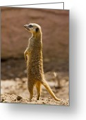 Standing Meerkat Photo Greeting Cards - Meerkat Greeting Card by Paul Roberts