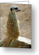 Standing Meerkat Photo Greeting Cards - Meerkat Portrait Greeting Card by Carlos Caetano