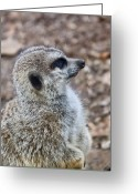 Intent Greeting Cards - Meerkat Portrait Greeting Card by Douglas Barnett