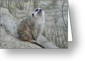 Sniff Greeting Cards - Meerkat Sniffing The Air Greeting Card by Lori Seaman