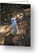 Peering Greeting Cards - Meerkat Spying on Neighbors Greeting Card by Douglas Barnett