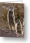 African Wildlife Greeting Cards - Meerkat Greeting Card by Tony Camacho