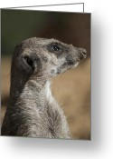 Standing Meerkat Photo Greeting Cards - Meerkat Greeting Card by Design Windmill