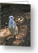Peering Greeting Cards - Meerkat Viewing Neighbors Greeting Card by Douglas Barnett