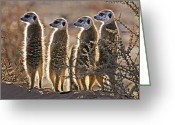 African Wildlife Greeting Cards - Meerkats Greeting Card by Tony Camacho