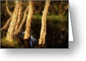Whiteman Photo Greeting Cards - Melaleuca magic Greeting Card by Louise Cooke