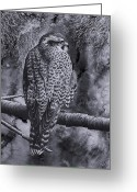 Falcon Drawings Greeting Cards - Merlin Greeting Card by Paul Parsons
