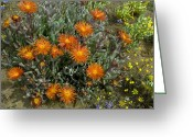 Northern Africa Greeting Cards - Mesemb (malephora Purpurea-crocea) Greeting Card by Bob Gibbons