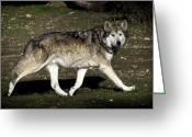 Barry Styles Greeting Cards - Mexican Grey Wolf 3799 Greeting Card by Barry Styles