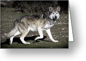 Barry Styles Greeting Cards - Mexican Grey Wolf 3800 Greeting Card by Barry Styles