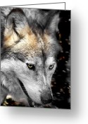 Barry Styles Greeting Cards - Mexican Grey Wolf 3815 Greeting Card by Barry Styles
