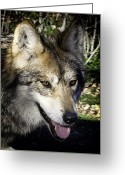 Barry Styles Greeting Cards - Mexican Grey Wolf 3828 Greeting Card by Barry Styles