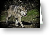 Barry Styles Greeting Cards - Mexican Grey Wolf 3833 Greeting Card by Barry Styles