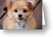Purebreed Greeting Cards - Mi-Ki Puppy Greeting Card by Angie McKenzie