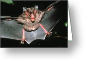 Bat Greeting Cards - Micronycteris Bat Greeting Card by Dr Morley Read