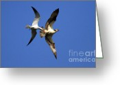 Osprey Photo Greeting Cards - Mid-Air Attack Greeting Card by Mike  Dawson