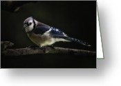 Chest Greeting Cards - Midnight Light Blue Jay Greeting Card by Bill Tiepelman
