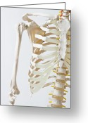 Spine Greeting Cards - Midsection Of An Anatomical Skeleton Model Greeting Card by Rachel de Joode