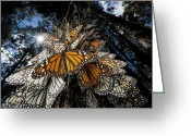 Resting Animals Greeting Cards - Millions Of Monarch Butterflies Travel Greeting Card by Joel Sartore