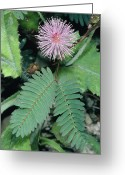 Pudica Greeting Cards - Mimosa Pudica. Greeting Card by Bob Gibbons