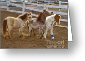 Colorado Creatures Greeting Cards - Miniature Horses Greeting Card by Crystal Garner