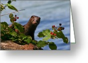 Mink Greeting Cards - Mink In Blackberries. Greeting Card by Mitch Shindelbower