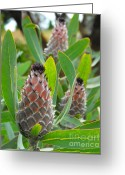 Mink Greeting Cards - Mink Protea Flower Greeting Card by Rebecca Margraf