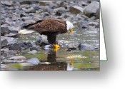 Raptor Greeting Cards - Mirror Mirror Greeting Card by Mike  Dawson