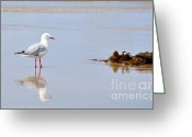 Sea Bird Greeting Cards - Mirrored Seagull Greeting Card by Kaye Menner